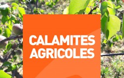 calamite_agricole